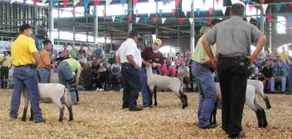 Champion shropshire ewe selection