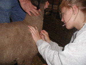 Drawing Blood for DNA test on Lamb