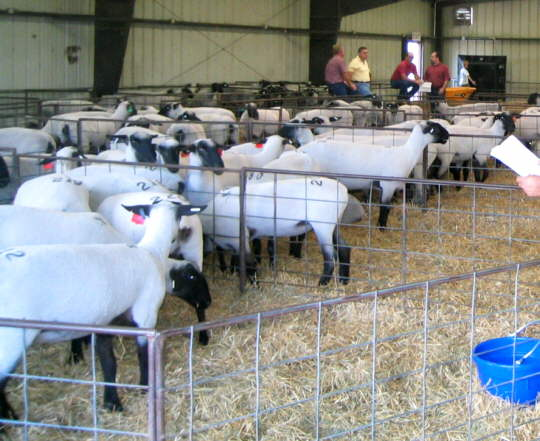 Yearling Registered Shropshire ewes