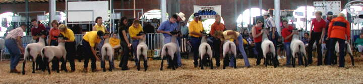 Yearling Hampshire Ram Class