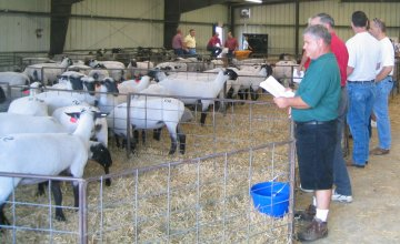 Ewes Penned at Cabaniss Production Cale