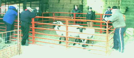 YEARLING RAM CLASS