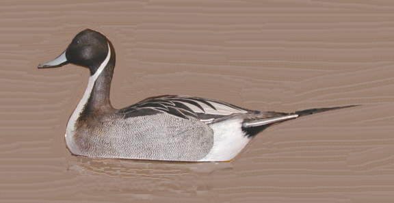 pintail by Harve & Karen Cabaniss