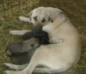 Diller with her first litter in 2000
