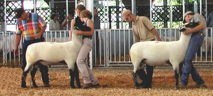 High Selling Yearling Ram 2001 National Hampshire Sale