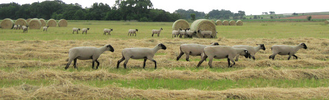 Click to view Production Ewes  in album